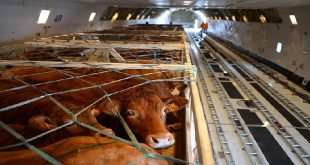 Deols, Frnace: Limousin breed cows on a plane bound for Mongolia